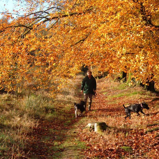 Autumn holidays in Devon. Dog walking in the woods.