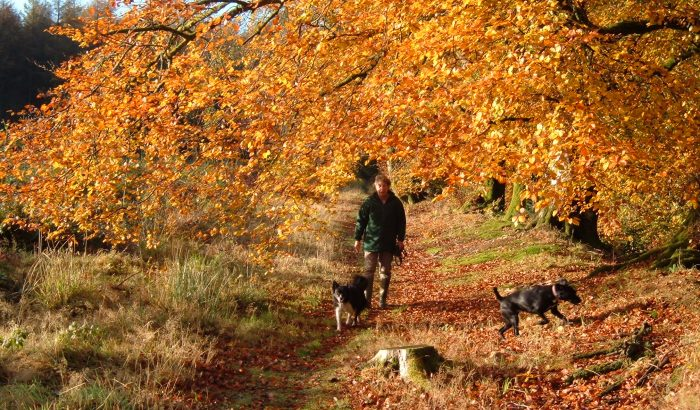 Autumn holidays in Devon. Dog walking in the woods.