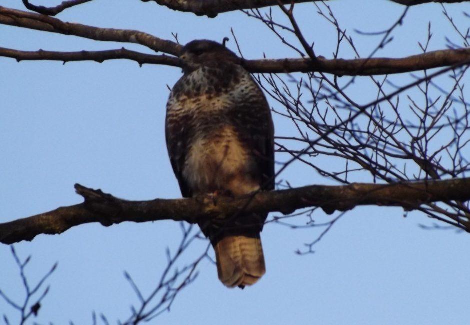 Wildlife - Buzzard at Forest Glade