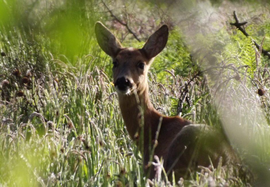 Wildlife - Deer at Forest Glade