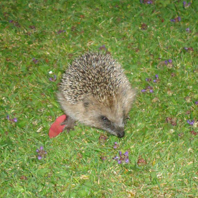Wildlife - Hedgehog at Forest Glade