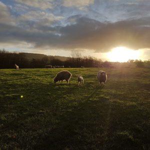 Devon lamb